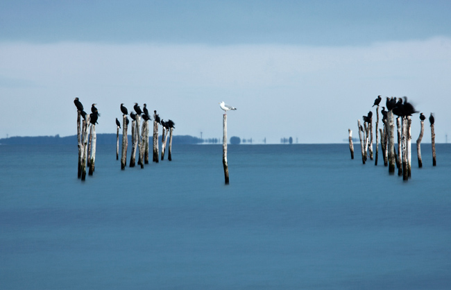 A white seagull surrounded by black cormorant. (Danmark - 2012)
